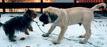 Tips about English Mastiff Puppies