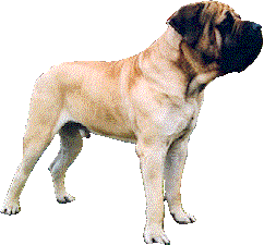 Kaiser the Mastiff - a Member of our Family!