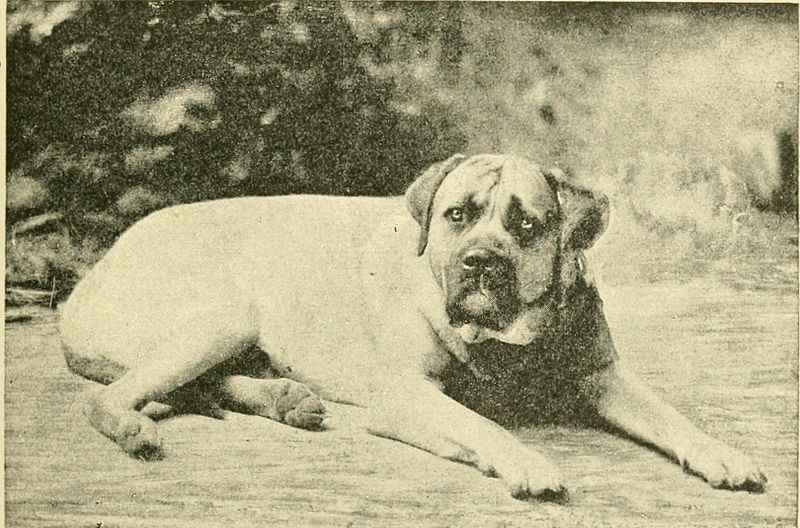 The History of the Mastiff Breed