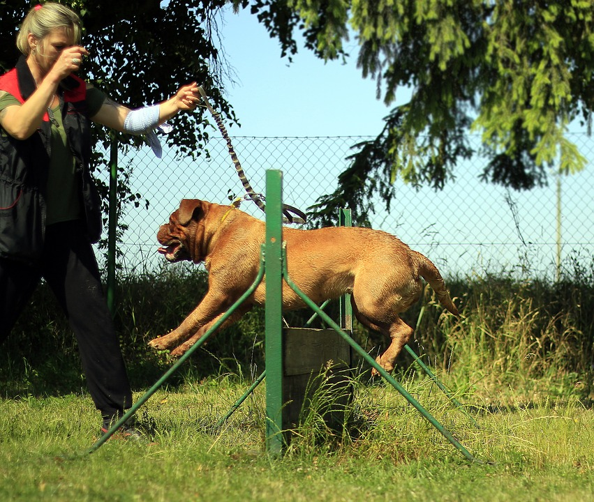 Training Bordeaux Mastiff