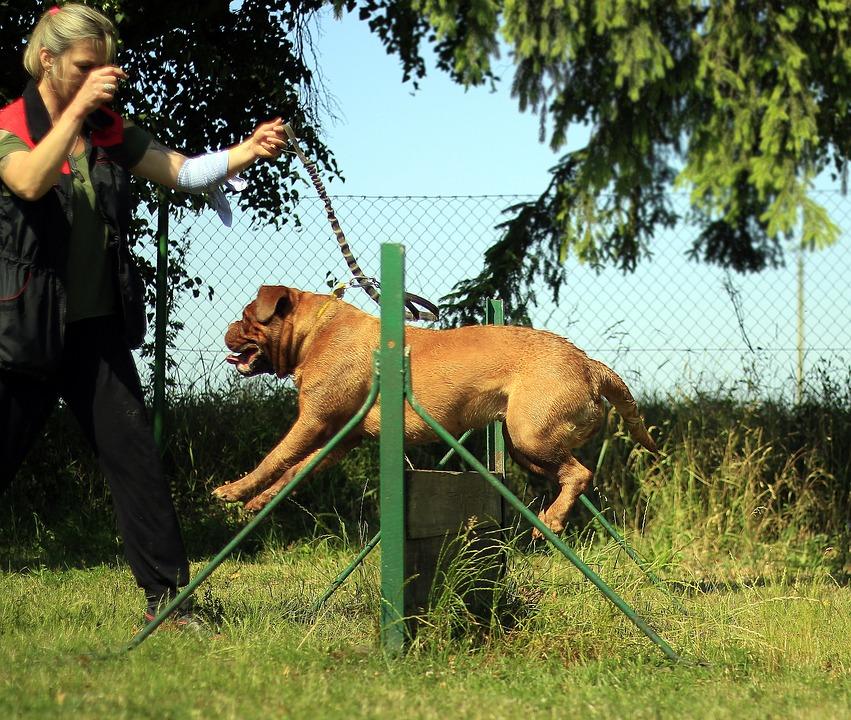 Training Bordeaux Mastiff