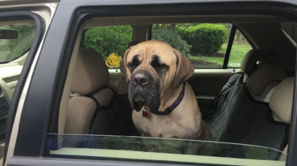 mastiff backseat